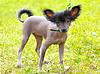 ID 4225881 | Dog Chinese Crested Dog breed | Foto stockowe wysokiej rozdzielczości | KLIPARTO
