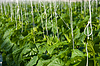 Cucumber plants | Stock Foto
