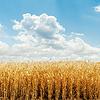 황금 수확 필드와 흐린 하늘 | Stock Foto