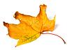 ID 4514905 | Gelb getrocknet Herbst Ahorn-Blatt | Foto mit hoher Auflösung | CLIPARTO