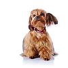 Czerwony szczeniaka pieska dekoracyjnego | Stock Foto