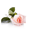 아름다운 분홍색 장미 | Stock Foto