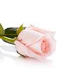 美丽的粉红色玫瑰 | 免版税照片