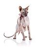 秃猫用胶带 | 免版税照片