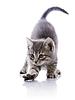 재미있는 회색 고양이 | Stock Foto
