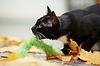 黑与白的猫和红叶 | 免版税照片