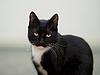 검은 색과 흰색 고양이 | Stock Foto
