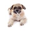 石姿品种有趣的小狗 | 免版税照片
