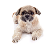 Shih 손자의 품종의 재미있는 강아지 | Stock Foto