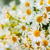 흰색 camomiles입니다 꽃 | Stock Foto