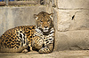 ID 4187368 | Jaguar | Foto mit hoher Auflösung | CLIPARTO