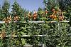 ID 4482967 | Leuchtend orange mit schwarzen Sprenkeln Lilie | Foto mit hoher Auflösung | CLIPARTO