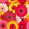 充满活力非洲菊花朵的无缝模式 | 免版税照片