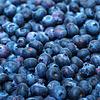 挑选新鲜蓝莓 | 免版税照片