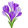 Blumenstrauß Krokus