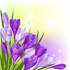 Frühlingsblumen Krokus natürlichen Hintergrund