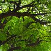 Korona drzewa Jacaranda | Stock Foto