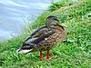 ID 4085938 | Mallard duke on lakeside | Foto stockowe wysokiej rozdzielczości | KLIPARTO