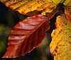 Bukowe liście jesienią | Stock Foto