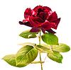 진한 빨강 색은 흰색 배경에 격리에 상승 | Stock Foto