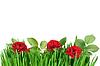 흰색 배경에 고립 된 잔디에 상승 | Stock Foto