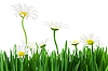 Lawn grass and daisies on a white background | Stock Foto