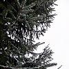 spruce | Stock Foto
