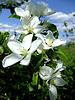Blumen von einem Apfelbaum | Stock Foto