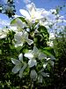 Zweig der Apfelblüte | Stock Foto