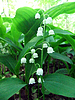 Lilies of valley | Stock Foto