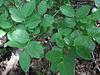 Heidelbeer-Blätter | Stock Foto