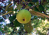 Apfel | Stock Foto