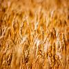 Landwirtschaftlichen Hintergrund der Reife Weizen | Stock Foto