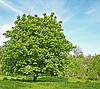 Kwiat z drzewa kasztanowca | Stock Foto