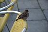 Sparrow | Stock Foto