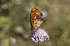 Brenthis daphne, Marbled Fritillary | Stock Foto