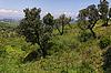 Cap Camarat, Ramatuelle, Landschaft mit alten Bäumen | Stock Foto