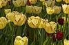 Backlit Foto von gelben Tulpen | Stock Foto