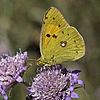Colias crocea, Dunkel Heufalter, gemeinsame bewölkte | Stock Foto