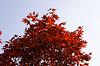 Acer palmatum, Echter Fächerahorn im Herbst, | Stock Foto