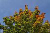 Acer platanoides, Spitzblättriger Ahorn, Spitz-Ahor | Stock Foto