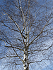 Betula, Birke | Stock Foto