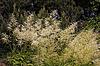Aruncus dioicus, Wald-Geißbart | Stock Foto