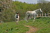 Araber-Pferd | Stock Foto