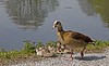 Egyptian Goose (Alopochen aegytiacus) with young animal | Stock Foto