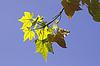 ID 4156728 | Acer saccharum, Zucker-Ahorn, Blätter im Licht | Foto mit hoher Auflösung | CLIPARTO