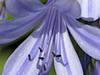 Agapanthus africanus, Liebesblume, Afrikanische | Stock Foto