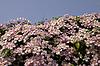Clematis montana, Anemonen-Waldrebe | Stock Foto