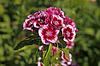 Dianthus barbartus, Bartnelke | Stock Foto
