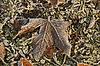 Acer platanoides, Spitzblättriger Ahorn, | Stock Foto